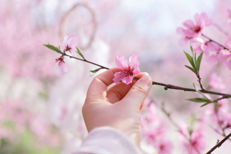 Midsection of man holding pink cherry blossom
