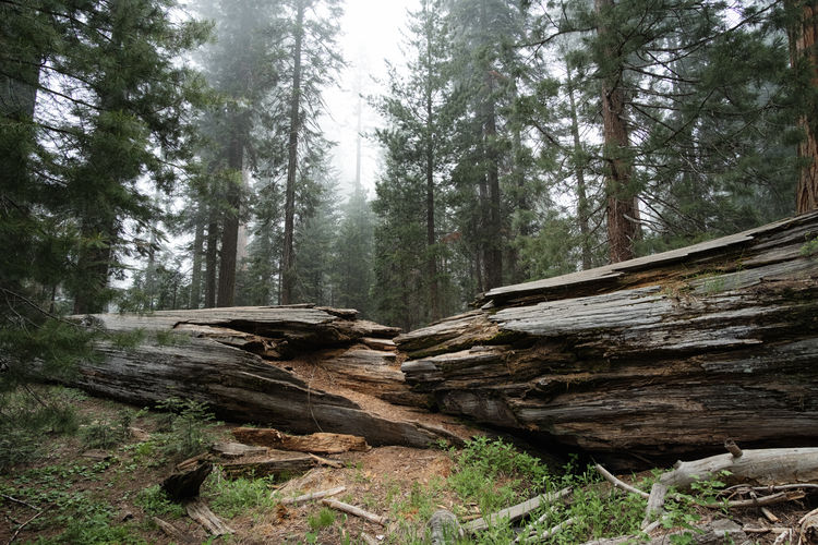 Fallen giant. Beauty In Nature Day Forest Growth Nature No People Outdoors Tree Tree Trunk