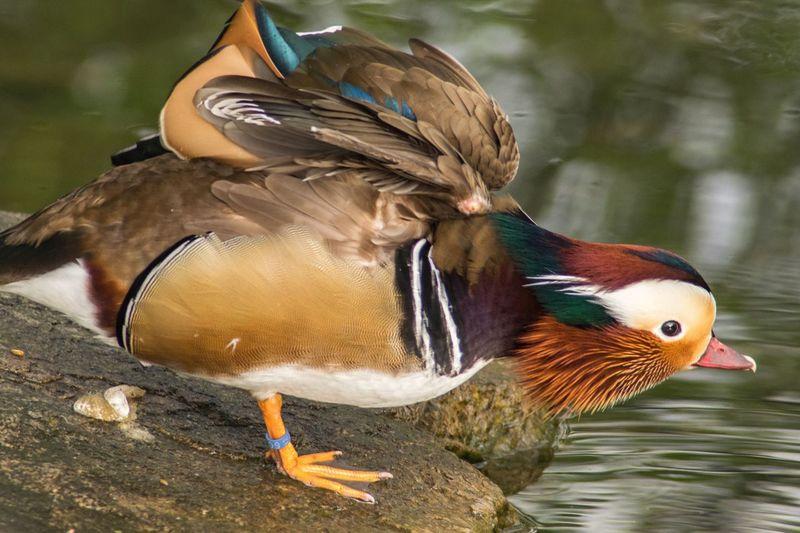 Mandarin Duck Standing On Rock By Water