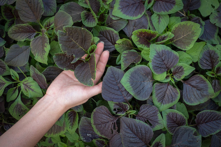 Woman hand holding spinach or red amaranth vegetables in gardens