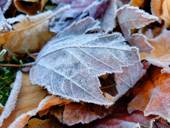Close-up of dry maple leaves during winter