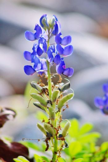 Texas Bluebonnet State Flower Texas Bluebonnet Nature Photography Flower Plant Flowering Plant Beauty In Nature Freshness Purple Close-up Vulnerability  Fragility Growth Nature Focus On Foreground No People Flower Head Inflorescence Petal Botany Plant Stem Selective Focus Outdoors