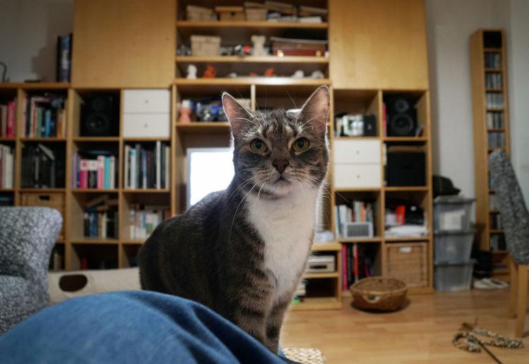Cat against shelves in living room at home