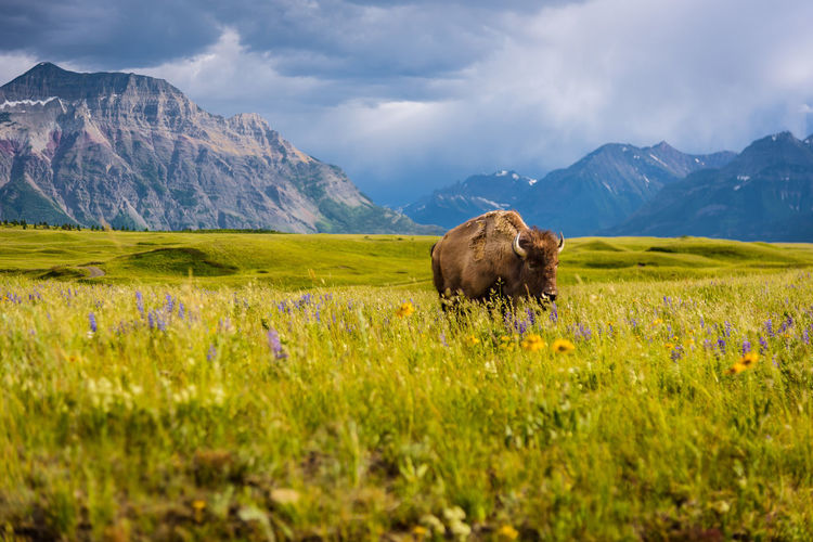 Cow standing on field against mountains