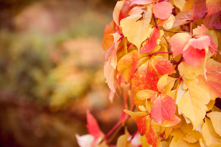 Vitaceae family ivy Parthenocissus quinquefolia vine red yellow leaves abstract on blurred background. Plant called woodbine, Virginia creeper, five-leaved ivy, or five-finger. Ornamental creeper plant with large deciduous leaves in autumn season. Photo taken in Poland. Horizontal orientation, nobody. Autumn Creeper Plant Creeping Creeping Ivy Creeping Vines Foliage Hedge Ivy Leaf Leafage Leaflets Leafy Leaved Leaves Nature No People Parthenocissus Plant Plants Quinquefolia Red Vine Paint The Town Yellow Woodbine Yellow