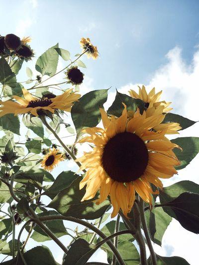 Sunflowers are