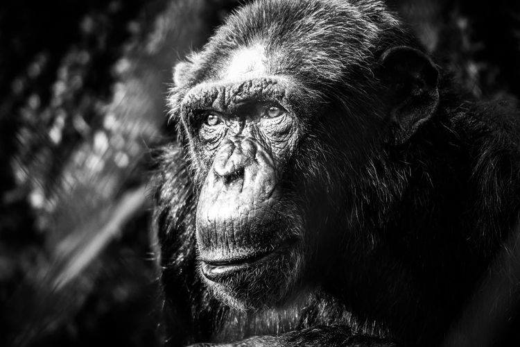 Black & White Chimpanzee Zoo Animal Themes Animal Wildlife Animals In The Wild Ape Beauty In Nature Black And White Blackandwhite Chimp Chimpanzee Close-up Mammal Monkey Nature No People One Animal Outdoors Portrait Primate