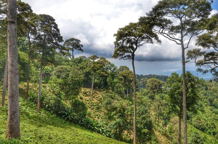 Tea Farm Raming MaeTang Chiangmai Thailand Tree Water Forest Sky Cloud - Sky