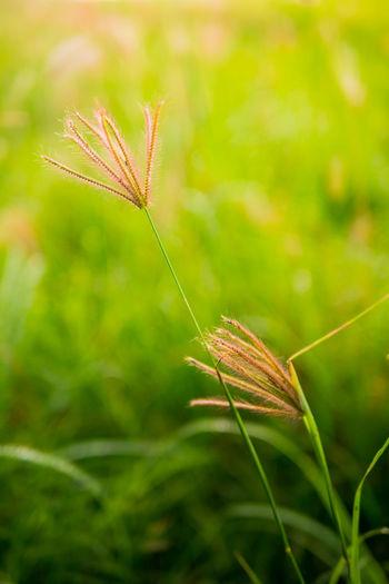 Grass Morning