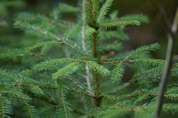 Beauty In Nature Branch Close-up Day Fern Focus On Foreground Fragility Freshness Green Color Growth Leaf Nature Needle Needle - Plant Part No People Outdoors Pinaceae Pine Tree Plant Spruce Tree Tree