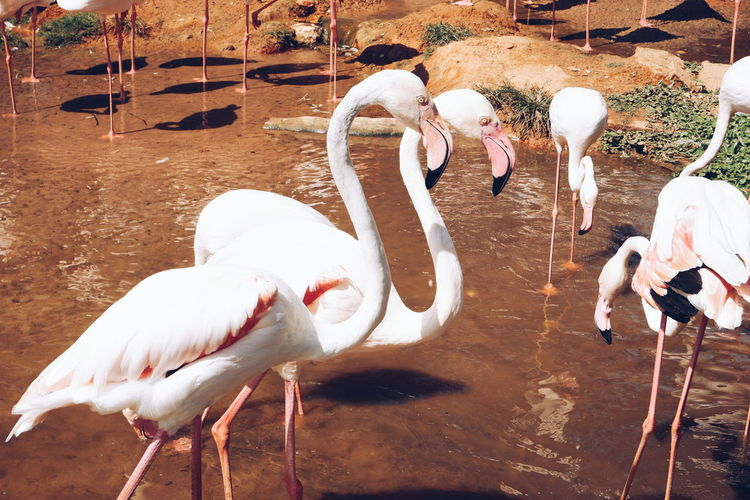 Bird Animal Themes Group Of Animals Animal Animals In The Wild Animal Wildlife Vertebrate Water Lake Day Nature White Color No People Beak Flamingo Three Animals Togetherness Water Bird Medium Group Of Animals Animal Neck Animal Family Drinking