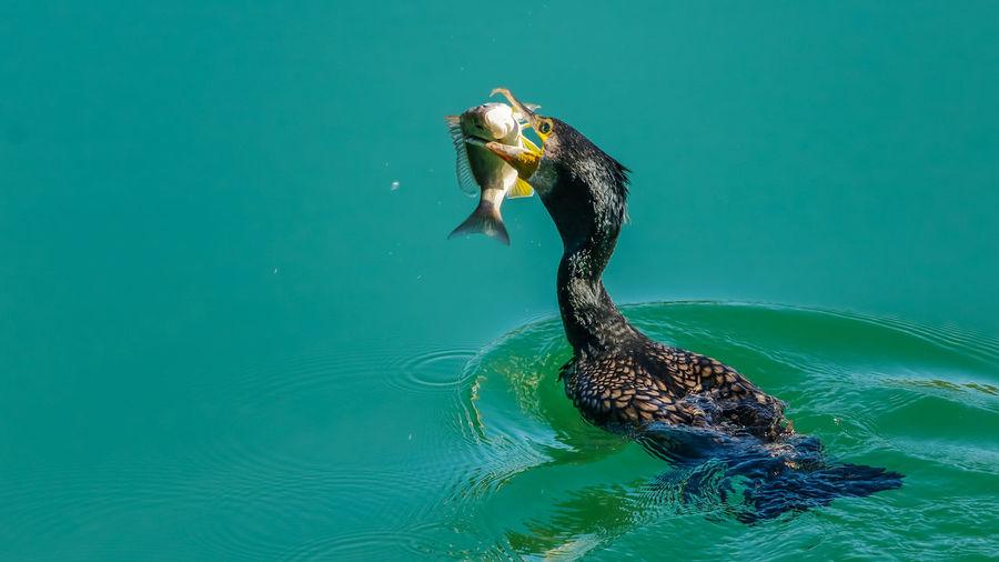 Bird hunting fish in sea