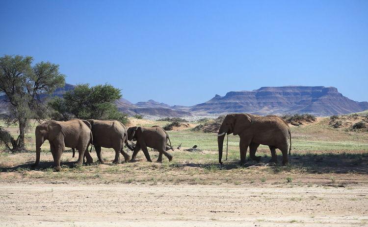 Africa Animal Themes Blue Clear Sky Damaraland Desert Elephant Elephant Familiy Grazing Group Of Elephants Herbivorous Landscape Mammal Medium Group Of Animals Mountain Range Namibia Togetherness Walking