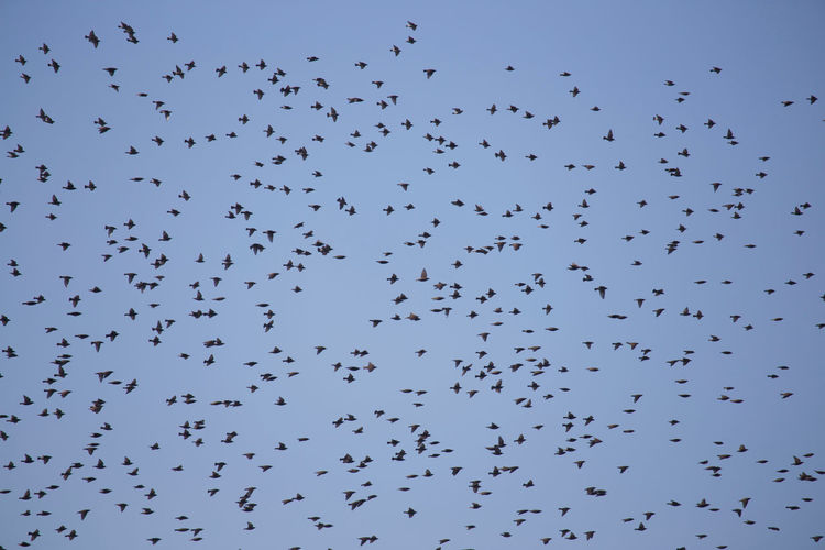 Low Angle View Of Birds Flying In Clear Sky
