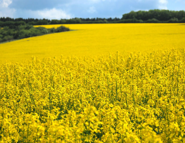 Abundance Agriculture Beauty In Nature Blooming Crop  Cultivated Land Day Field Flower Fragility Freshness Growth Idyllic Landscape Nature No People Oilseed Rape Outdoors Plant Rural Scene Scenics Sky Tranquil Scene Tranquility Yellow