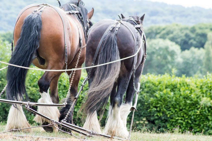Equine Equestrian Horse Power Horse Photography  Shire Horse Horses Power In Nature Harrowing EyeEm Selects Rural Scene Tree Agriculture Field Horse Grass Close-up Livestock Sky Landscape Working Animal