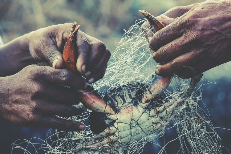 Close-Up Of Hands Untangling Crab