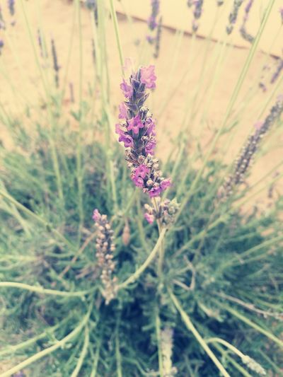 Nature Flower Purple Plant Lavender Growth No People Outdoors Beauty In Nature Fragility Herbal Medicine Freshness Beauty Day Close-up Flower Head HuaweiP9Photography Tranquility Lavenderflower Lavender Blossoms Lavender And Purple Lavenderlove Purpleflowers Garden Photography Nature