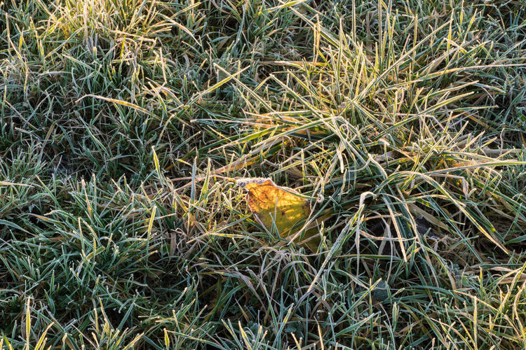 Gaternissekreek, Sasputsestraat, Sasput (a small community near Breskens) Plant Field High Angle View Plant Part Close-up Leaf Frozen Grass Frozen Nature Sony A77ii Morning Light Zeeuws Vlaanderen Zeeland  The Netherlands
