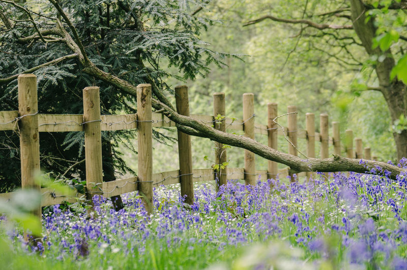Bluebells blooming on field by fence in garden