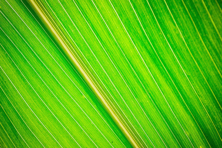 line up Backgrounds Banana Leaf Beauty In Nature Close-up Day Fragility Freshness Frond Full Frame Green Color Growth Leaf Nature No People Outdoors Palm Leaf Palm Tree Pattern Plant Striped Textured  Tree