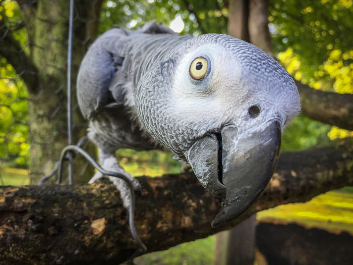 Here's lookin at ya, kid African Grey Parrot African Gray Parrot Animal Themes Attentive Bird Close-up Curiosity Focus On Foreground One Animal Parrot Parrots Of Eyeem Perching