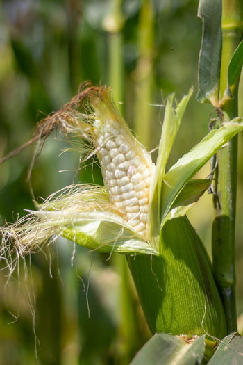 Close-up of corn growing on field