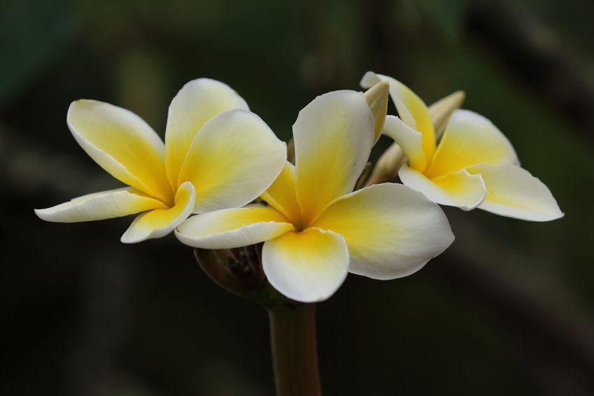 🌻🌻🌻 Flower Flower Head Nature Yellow Close-up Plant Plumeria Plumeria Flowers Plumeria Blossoms Yellow Flowers Petal Black Background in Hawaii United States