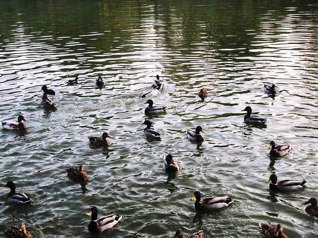 Beauty Nature Water Lake Bird Group Of Animals Animals In The Wild Animal Themes Animal Wildlife Animal Vertebrate Large Group Of Animals Nature Duck Poultry Reflection Rippled Swimming Day Outdoors No People High Angle View Autumn Mood
