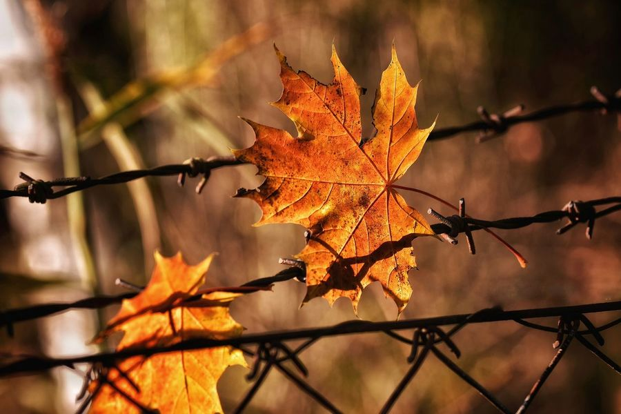 Leaf Autumn Change Nature Close-up Outdoors Maple Leaf Plant Beauty In Nature Beauty In Nature Tyrolean Adventures Abstract Nature Focus On Foreground Built Structure Natural Parkland Cold Temperature Austrianphotographers Tree