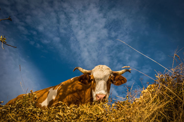 Low angle view of cow against sky