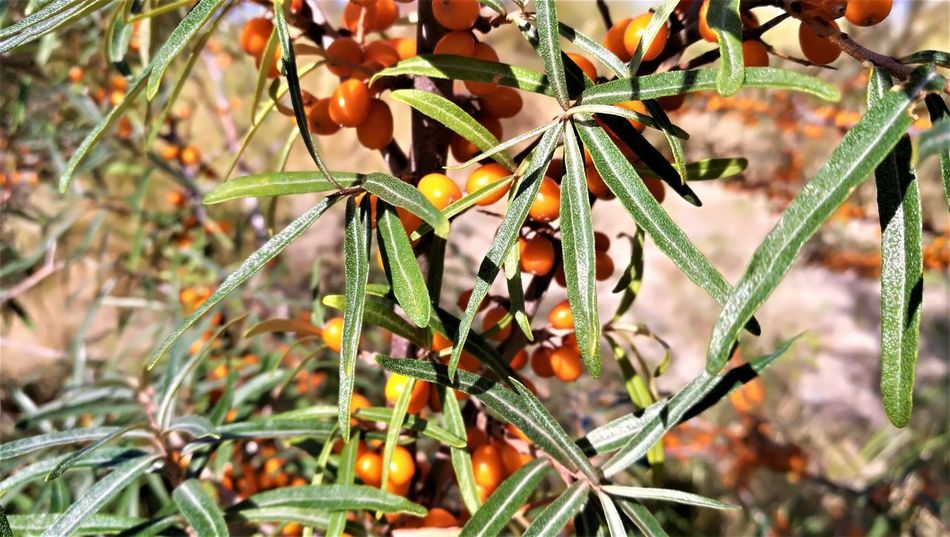Hippophae Rhamnoides Sanddorn Beauty In Nature Close-up Day Flower Flowering Plant Focus On Foreground Food Food And Drink Freshness Fruit Growth Healthy Eating Leaf Nature No People Outdoors Plant Plant Part Plant Stem Sanddornsträucher Vulnerability