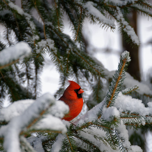 Cardinal perching on snow covered tree