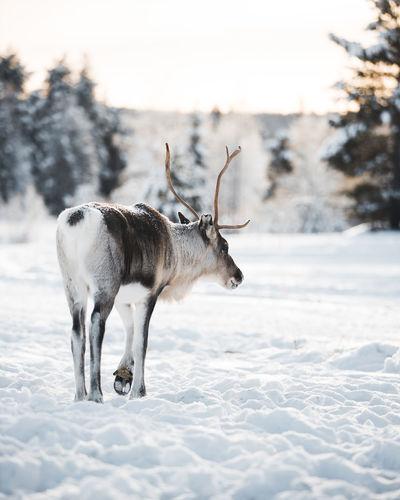 Rear view of reindeer standing in snow on field