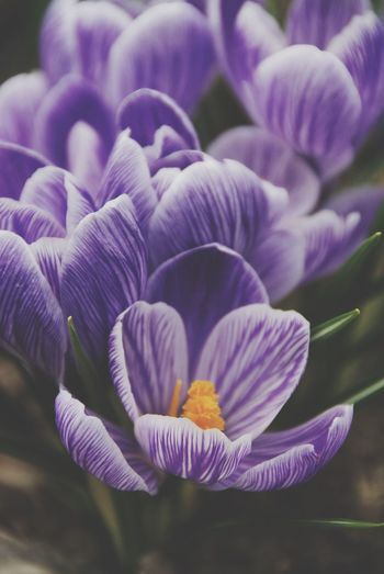 Pickwick crocus Nature Flower Spring Day Outdoors Purple Plant Soft Growth Fragility Petal Crocus Freshness Ethereal Close-up Beauty In Nature Botany No People Vulnerability  Inflorescence Selective Focus Flowering Plant Flower Head Focus On Foreground Purple Color Vulnerability