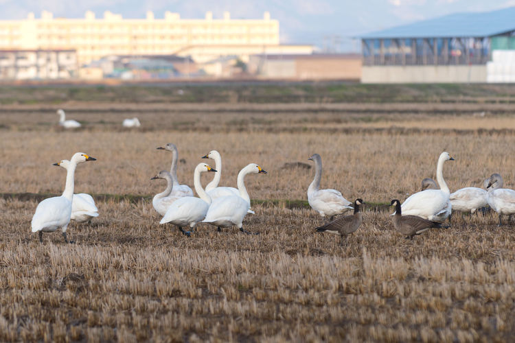White swans on field against sky
