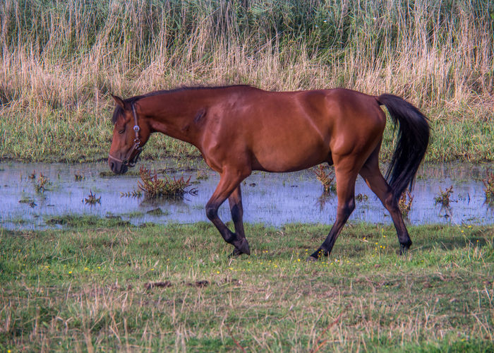 horse Nature Animal Animal Themes Brown Horse Country Life Countryside Day Domestic Animals Field Garden Grass Grazing Herbivorous Horse Landscape Livestock Mammal Meadow No People One Animal Outdoors Side View Standing Summer Water