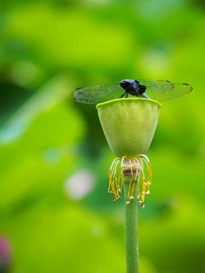 今日もお疲れ様でした😊 Summer Flower トンボ 蓮 EyeEm Best Shots Eye Em Nature Loverお気に入りの1枚♪
