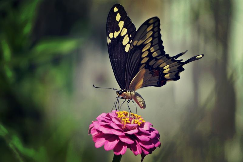 Close-up of butterfly pollinating on pink zinnia