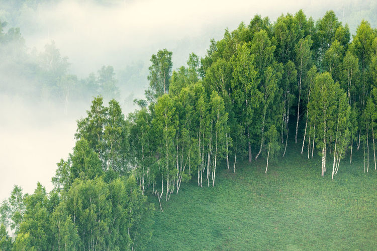 Birch trees on foggy hills EyeEm Best Shots EyeEm Nature Lover EyeEm Gallery EyeEm Selects Beauty In Nature Birch Tree Day Fog Foggy Foggy Morning Forest Green Color Growth Landscape Nature No People Outdoors Scenics Sky Tranquil Scene Tranquility Tree EyeEmNewHere EyeEm Ready