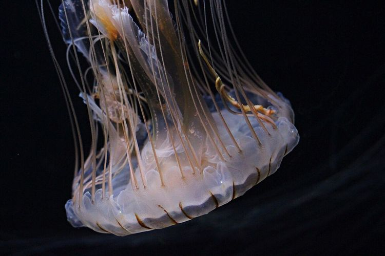 The jellyfish Jellyfish Fish Underwater Ocean Aqarium Sea Marina Marinelife