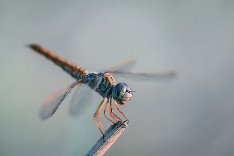 Close-up of dragonfly perching on stick