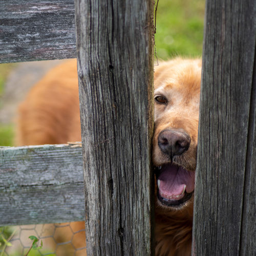 Dog with red fur peers through wooden fence posts to greet you