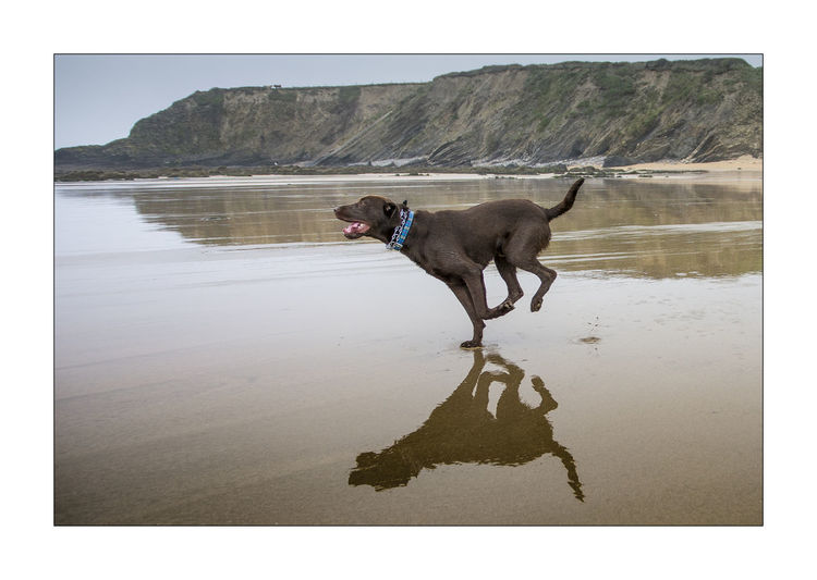 Animal Themes Beach Dog Domestic Animals One Animal Outdoors Sea Water Sea Shore Labradors Happy Dogs Enjoying Life Beach Walk Labrador Walk On The Beach  Running Dog Waterfront
