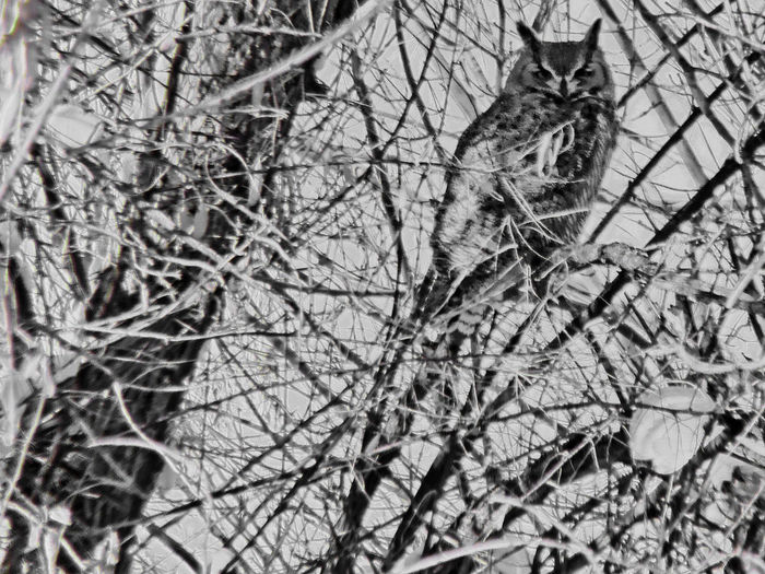 Bare Tree Branch Cold Temperature Great Horned Owl Juvinile Looking At Me? Low Angle View Nature Nature One Animal Outdoor Outdoors Owl Tree Unconcerned Winter Wyoming Zoology