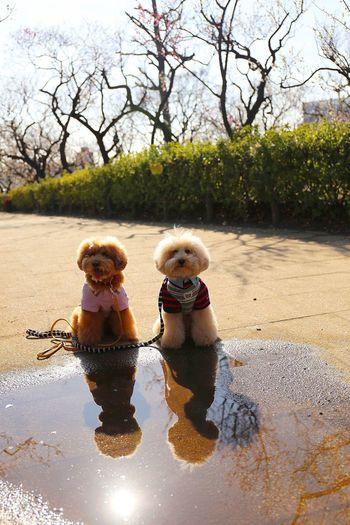 I Love My Dog DogLove My Toypoodle Cute Pets Poodle Love Cutedogs Toypoodle Japan Japon Dogs