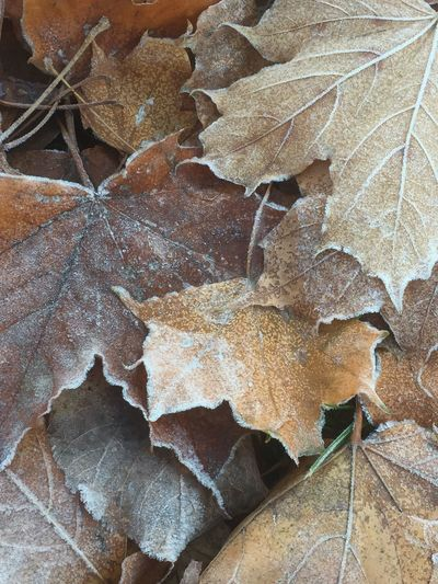 Close-up of dry maple leaves during autumn