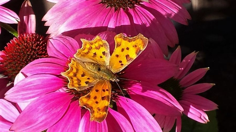 Animal Themes Beauty In Nature Butterfly - Insect Close-up Day Flower Flower Head Fragility Freshness Insect Nature No People Orange Color Outdoors Petal Pink Color Pollen Pollination Yellow