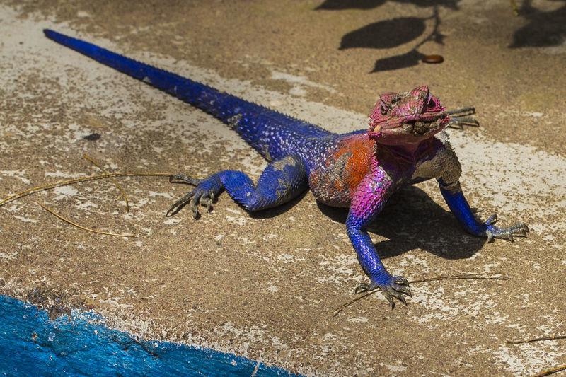 Close-up of african lizard