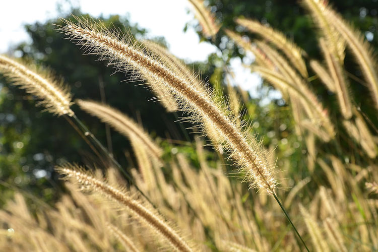 A close up view of beautiful cogon grass. Beauty In Nature Close-up Cogon Grass Day Field Grass Growth Nature No People Outdoors Plant